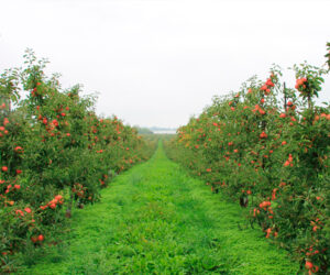 Fejø danner de perfekte rammer for at dyrke æbler
